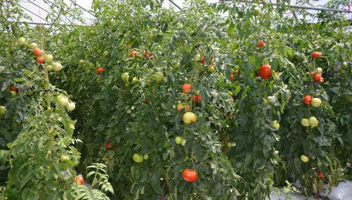 bolesti paradaza
