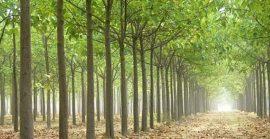 Paulovnija – brzorastuće drvo