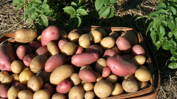 Sorte krompira