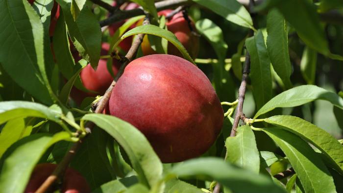 Uzgoj nektarina