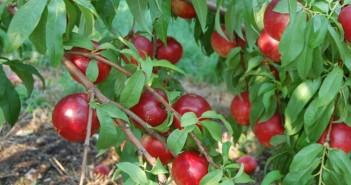 Uzgoj nektarine