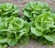 Zelena salata 1
