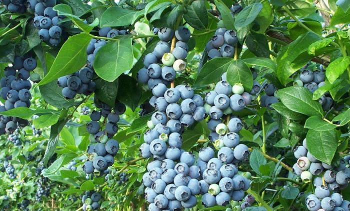 gajenje borovice