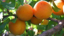 Sorte kajsija, cenjenog svežeg voća