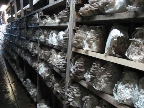 uslovi za uzgoj bukovace