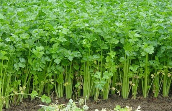 uzgoj celera