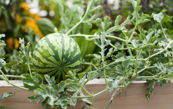 uzgoj lubenica