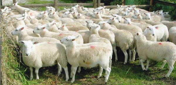 uzgoj ovaca
