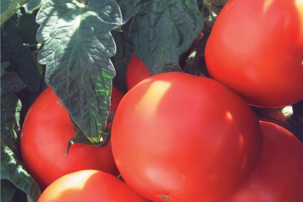 paradajz-matijas