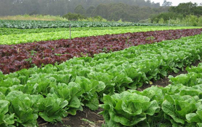 Zelena salata 2